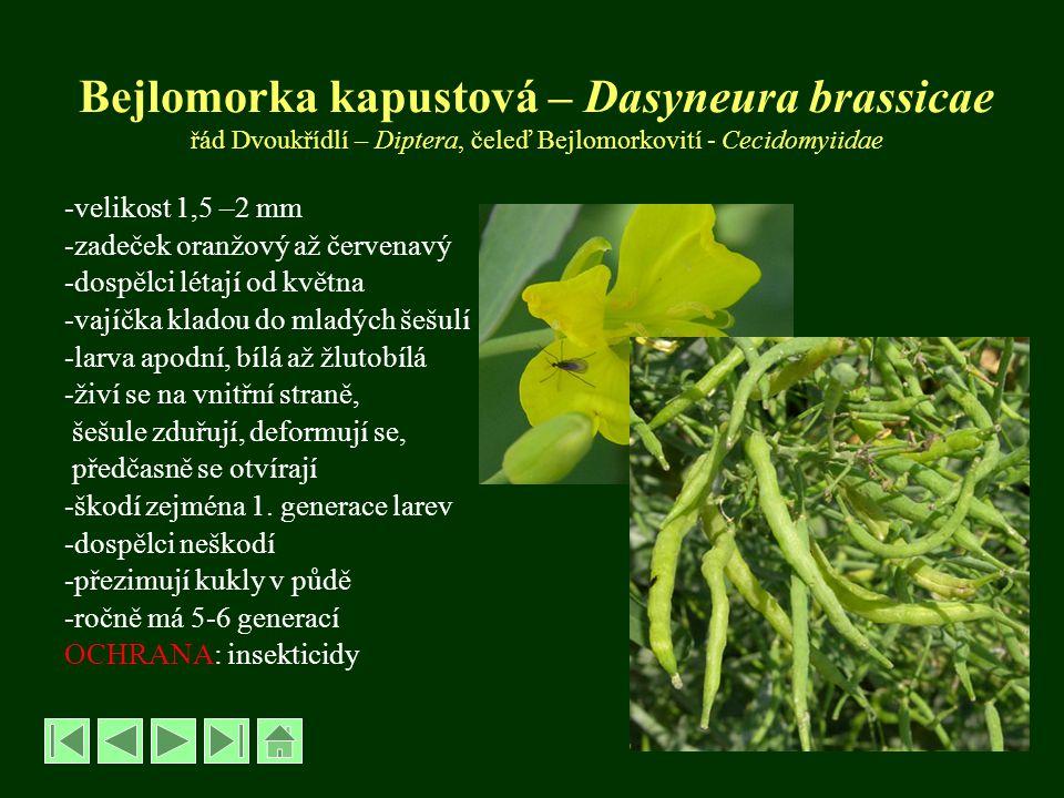 Bejlomorka kapustová – Dasyneura brassicae řád Dvoukřídlí – Diptera, čeleď Bejlomorkovití - Cecidomyiidae