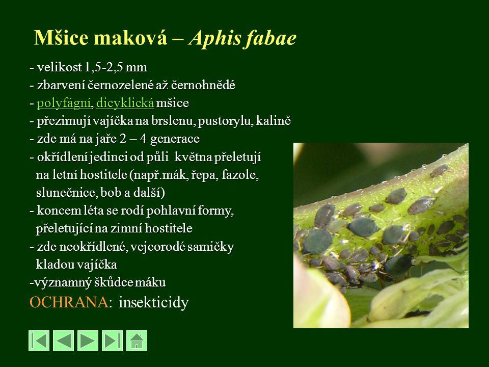 Mšice maková – Aphis fabae
