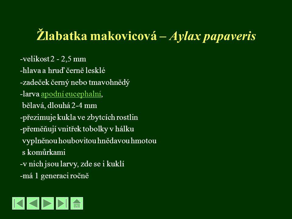 Žlabatka makovicová – Aylax papaveris