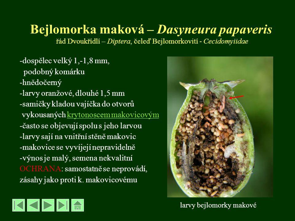 Bejlomorka maková – Dasyneura papaveris řád Dvoukřídlí – Diptera, čeleď Bejlomorkovití - Cecidomyiidae