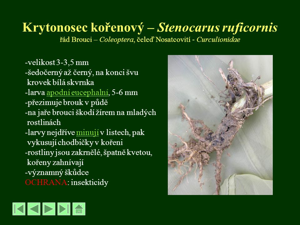 Krytonosec kořenový – Stenocarus ruficornis řád Brouci – Coleoptera, čeleď Nosatcovití - Curculionidae