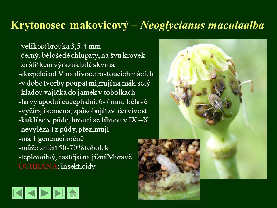 Krytonosec makovicový – Neoglycianus maculaalba