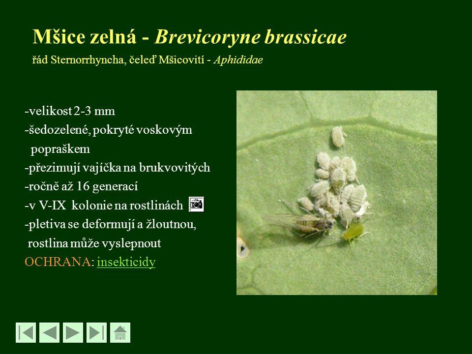 Mšice zelná - Brevicoryne brassicae řád Sternorrhyncha, čeleď Mšicovití - Aphididae