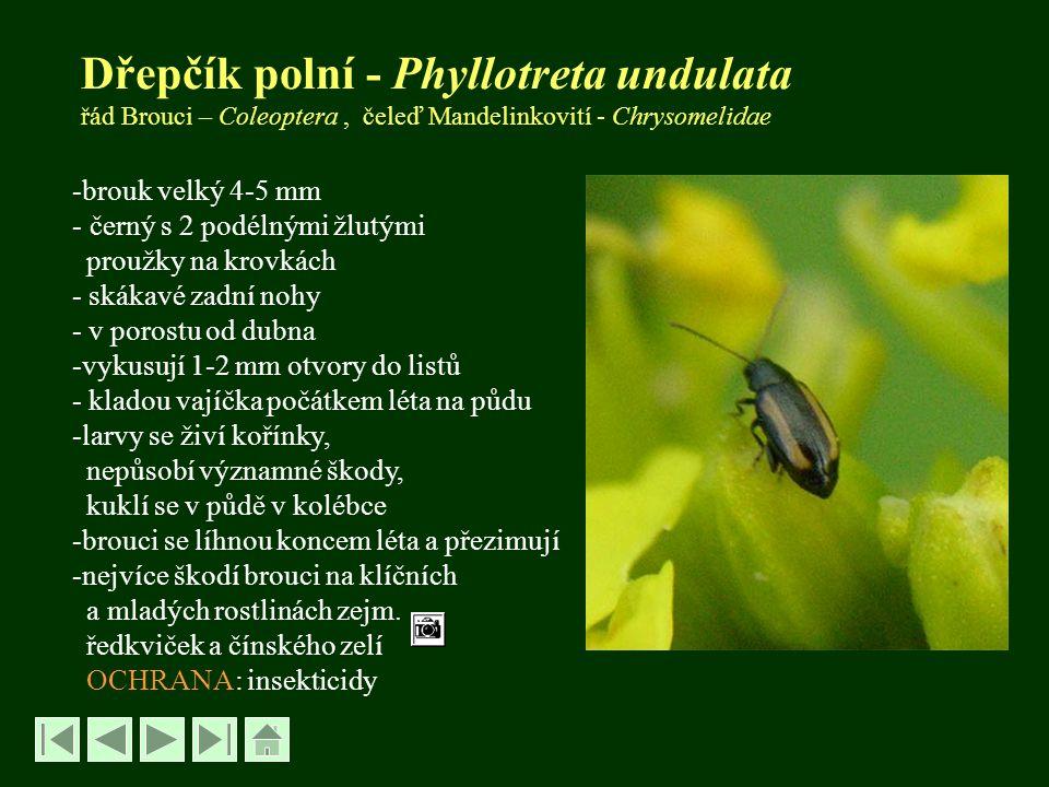 Dřepčík polní - Phyllotreta undulata řád Brouci – Coleoptera , čeleď Mandelinkovití - Chrysomelidae
