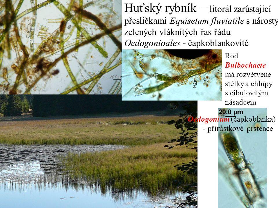 Huťský rybník – litorál zarůstající přesličkami Equisetum fluviatile s nárosty zelených vláknitých řas řádu Oedogonioales - čapkoblankovité