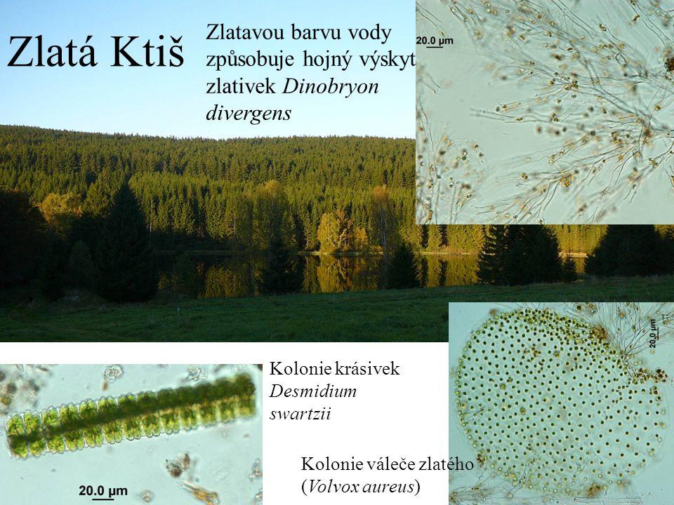 Zlatavou barvu vody způsobuje hojný výskyt zlativek Dinobryon divergens