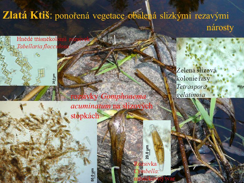 Zlatá Ktiš: ponořená vegetace obalená slizkými rezavými nárosty