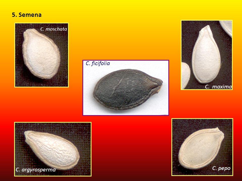 5. Semena C. maxima C. moschata C. ficifolia C. pepo C. argyrosperma