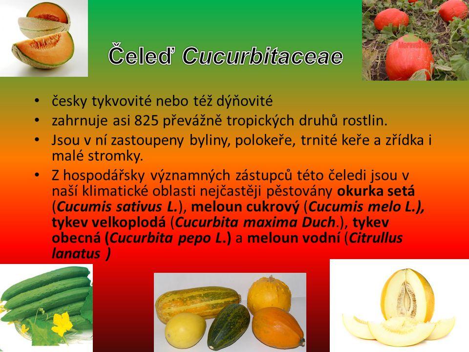 Čeleď Cucurbitaceae česky tykvovité nebo též dýňovité