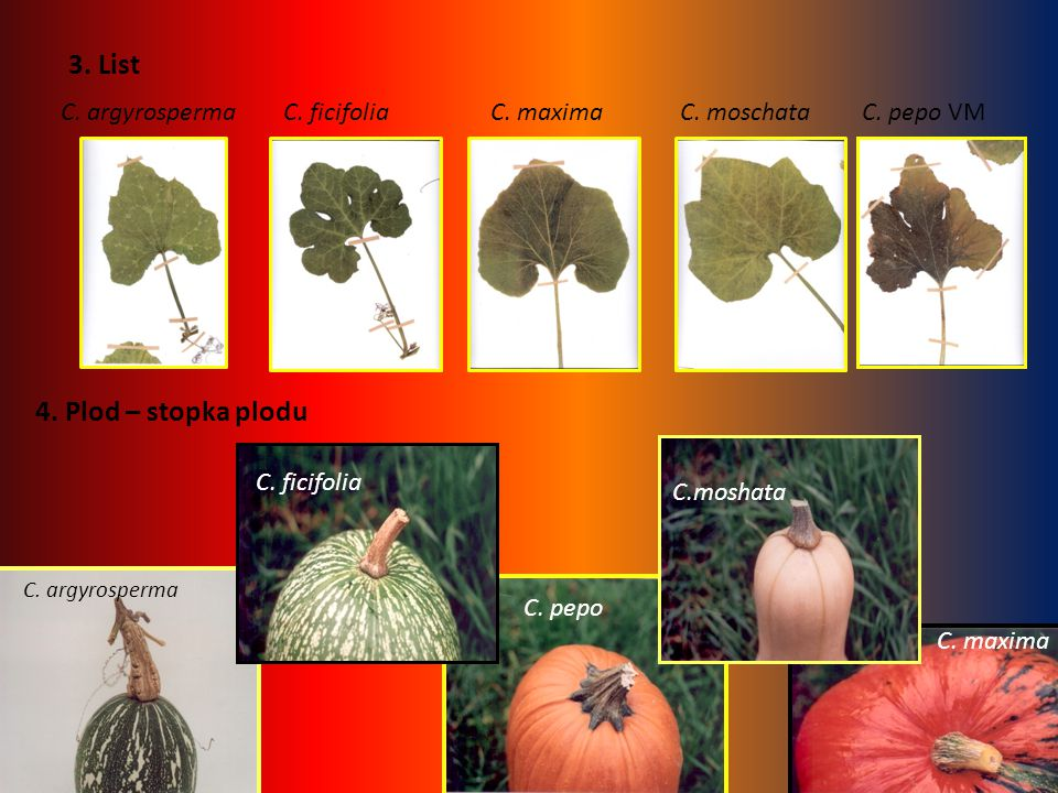 3. List 4. Plod – stopka plodu C. argyrosperma C. ficifolia C. maxima