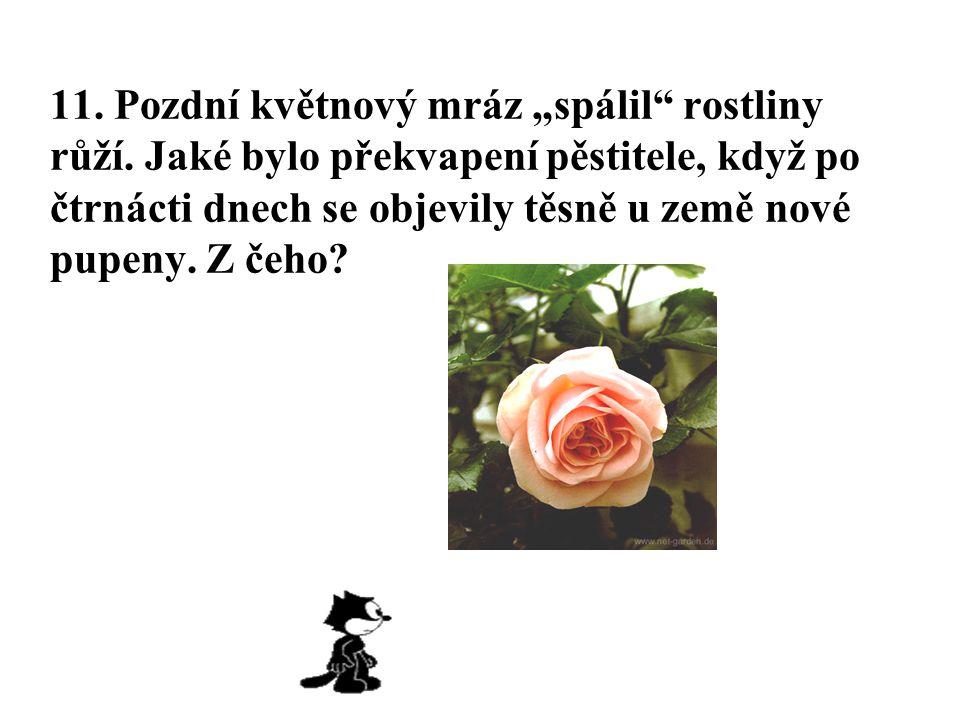 """11. Pozdní květnový mráz """"spálil rostliny růží"""
