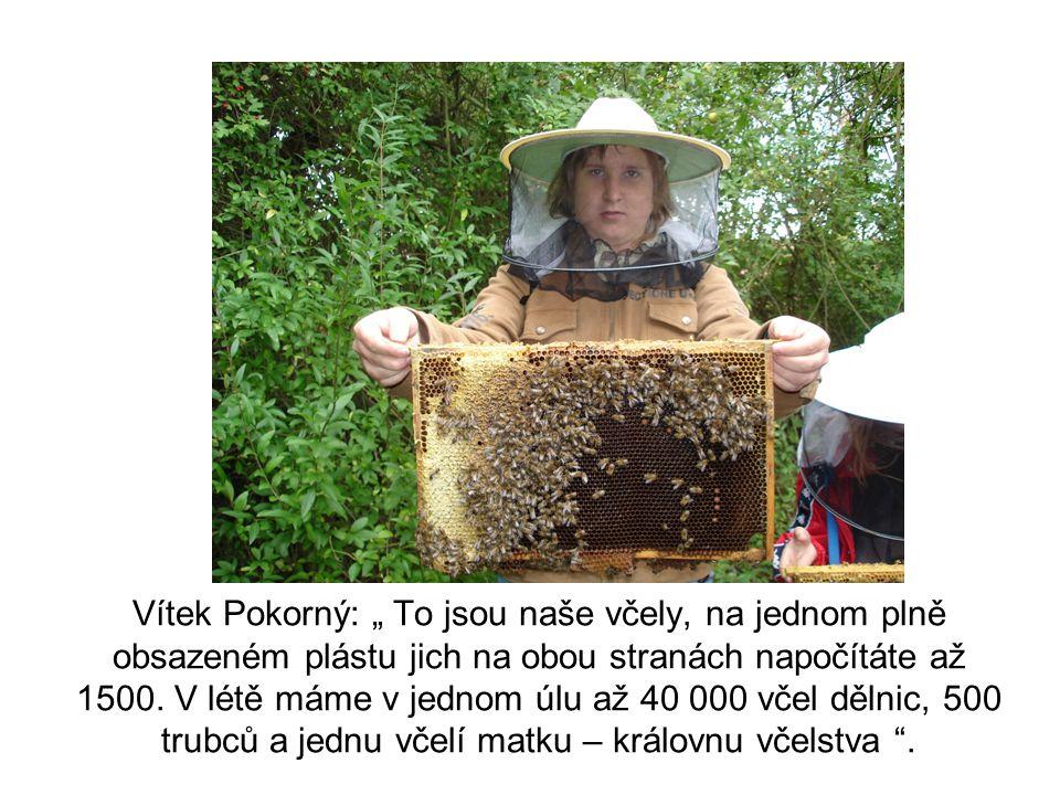 """Vítek Pokorný: """" To jsou naše včely, na jednom plně obsazeném plástu jich na obou stranách napočítáte až 1500."""