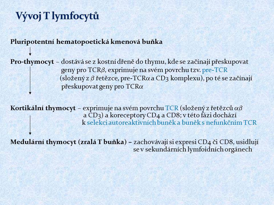 Vývoj T lymfocytů Pluripotentní hematopoetická kmenová buňka