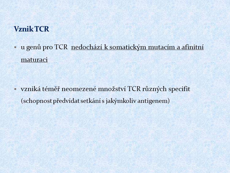 Vznik TCR u genů pro TCR nedochází k somatickým mutacím a afinitní maturaci.