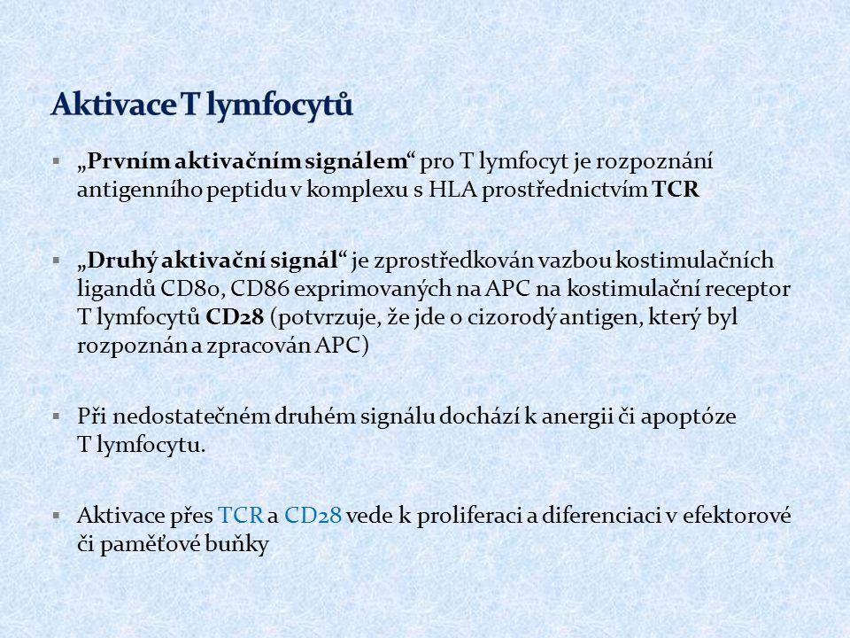 """Aktivace T lymfocytů """"Prvním aktivačním signálem pro T lymfocyt je rozpoznání antigenního peptidu v komplexu s HLA prostřednictvím TCR."""