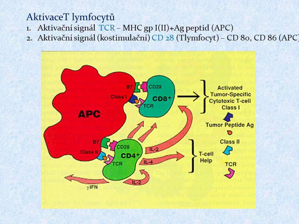 AktivaceT lymfocytů Aktivační signál TCR – MHC gp I(II)+Ag peptid (APC) Aktivační signál (kostimulační) CD 28 (Tlymfocyt) – CD 80, CD 86 (APC)
