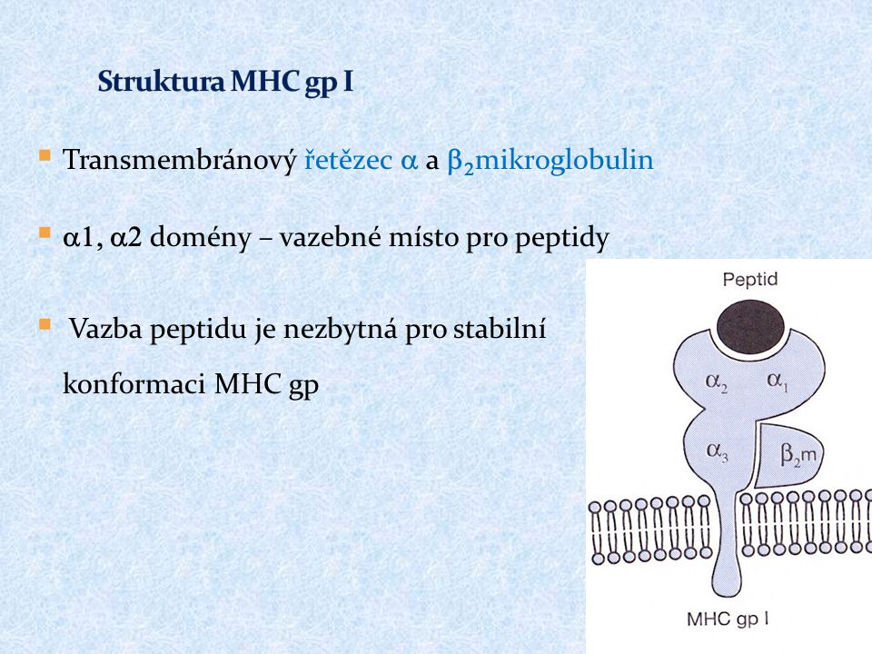 Struktura MHC gp I Transmembránový řetězec a a b2mikroglobulin