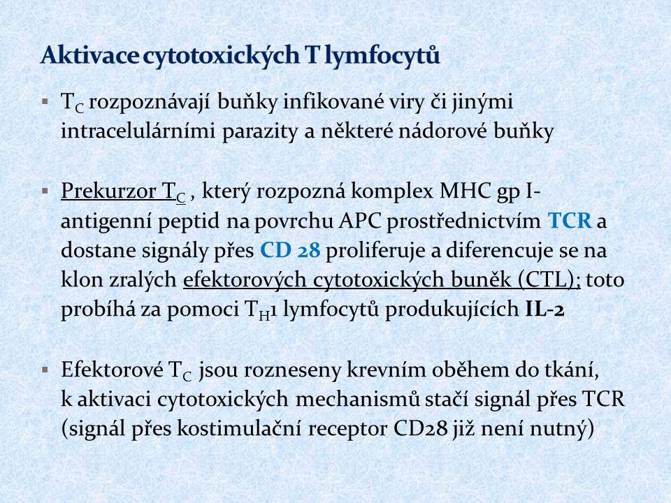 Aktivace cytotoxických T lymfocytů