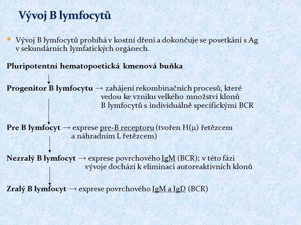 Vývoj B lymfocytů Vývoj B lymfocytů probíhá v kostní dřeni a dokončuje se posetkání s Ag v sekundárních lymfatických orgánech.