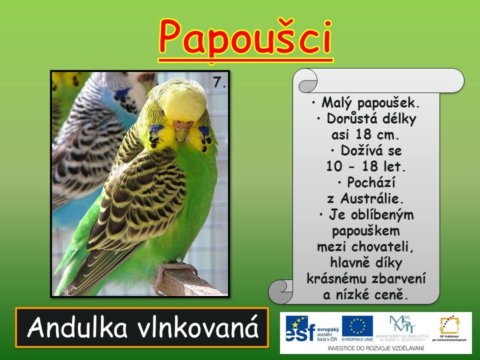 Papoušci Andulka vlnkovaná 7. Malý papoušek. Dorůstá délky asi 18 cm.