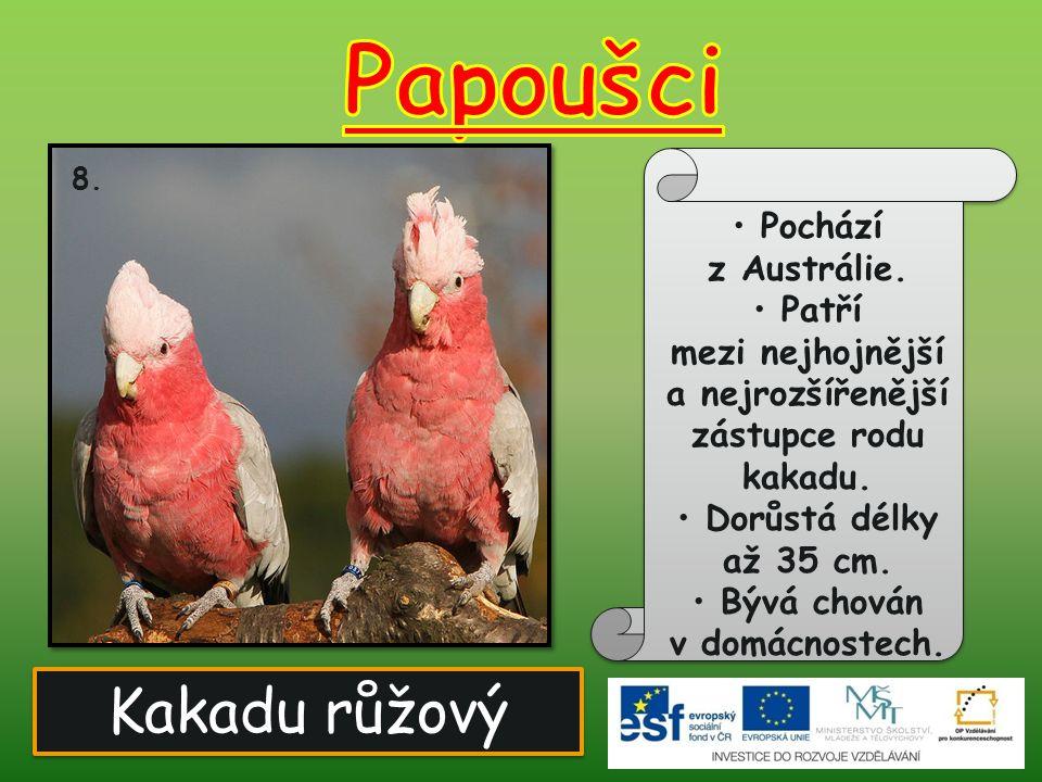 Papoušci Kakadu růžový Pochází z Austrálie. Patří