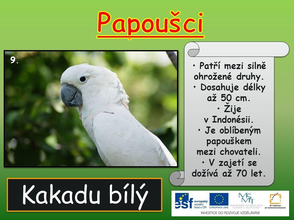 Papoušci Kakadu bílý Patří mezi silně ohrožené druhy.