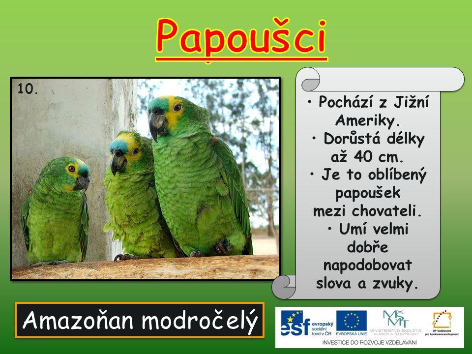 Papoušci Amazoňan modročelý Pochází z Jižní Ameriky.