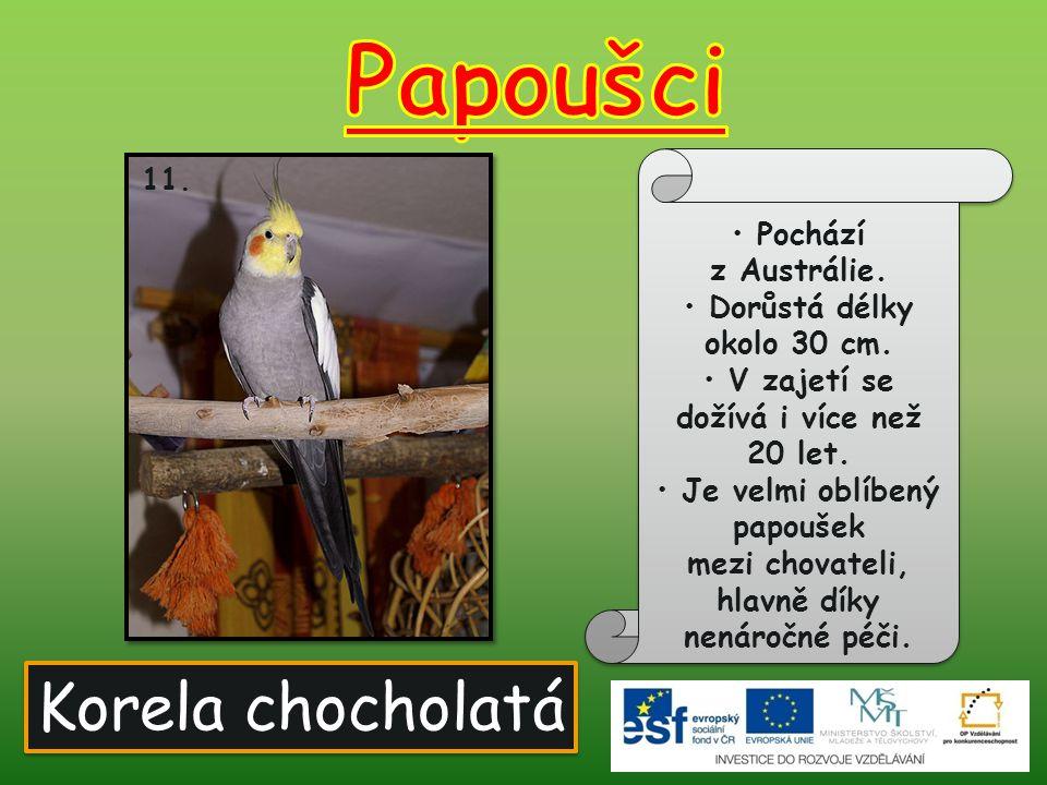 Papoušci Korela chocholatá Pochází z Austrálie.