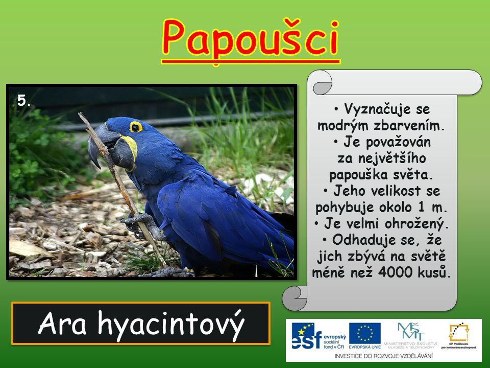 Papoušci Ara hyacintový 5. Vyznačuje se modrým zbarvením. Je považován