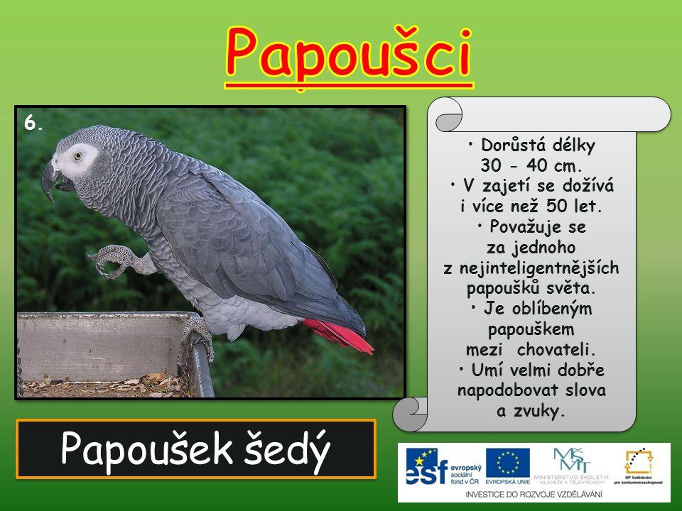 Papoušci Papoušek šedý 6. Dorůstá délky 30 - 40 cm.