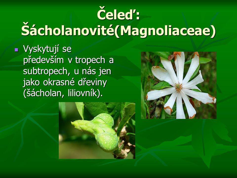 Čeleď: Šácholanovité(Magnoliaceae)