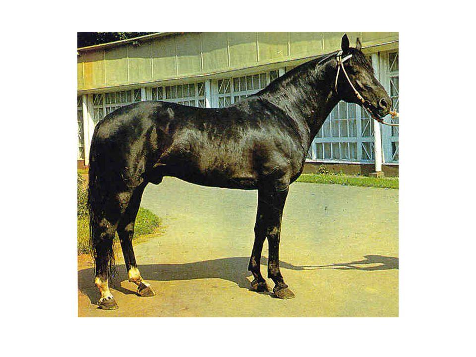 Kirgizský kůň