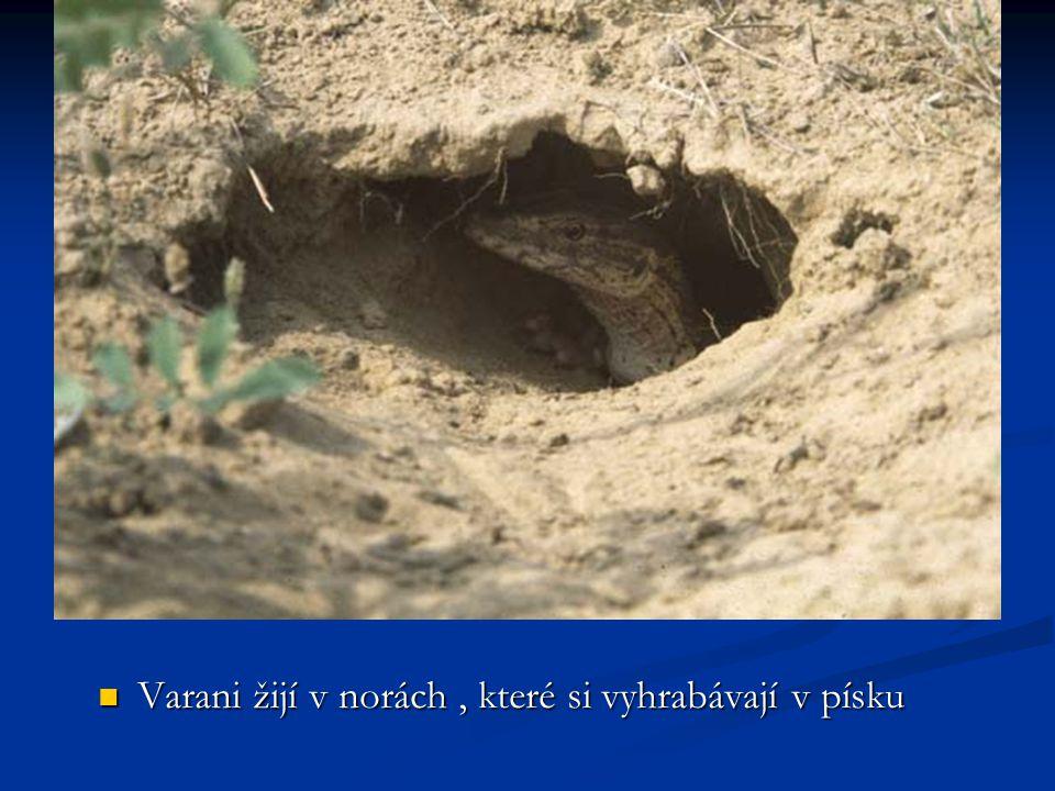 Varani žijí v norách , které si vyhrabávají v písku