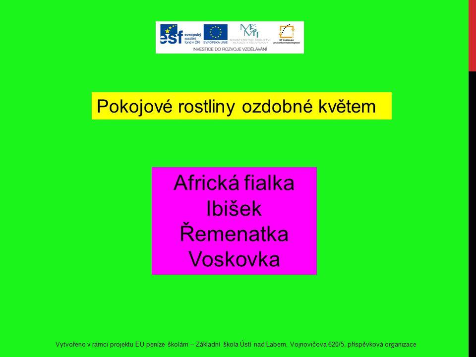 Africká fialka Ibišek Řemenatka Voskovka