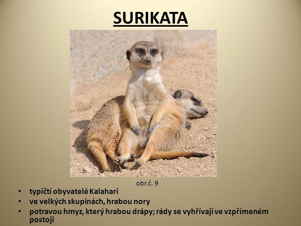 SURIKATA typičtí obyvatelé Kalahari ve velkých skupinách, hrabou nory