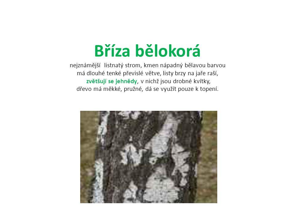 Bříza bělokorá nejznámější listnatý strom, kmen nápadný bělavou barvou má dlouhé tenké převislé větve, listy brzy na jaře raší, zvětšují se jehnědy, v nichž jsou drobné kvítky, dřevo má měkké, pružné, dá se využít pouze k topení.