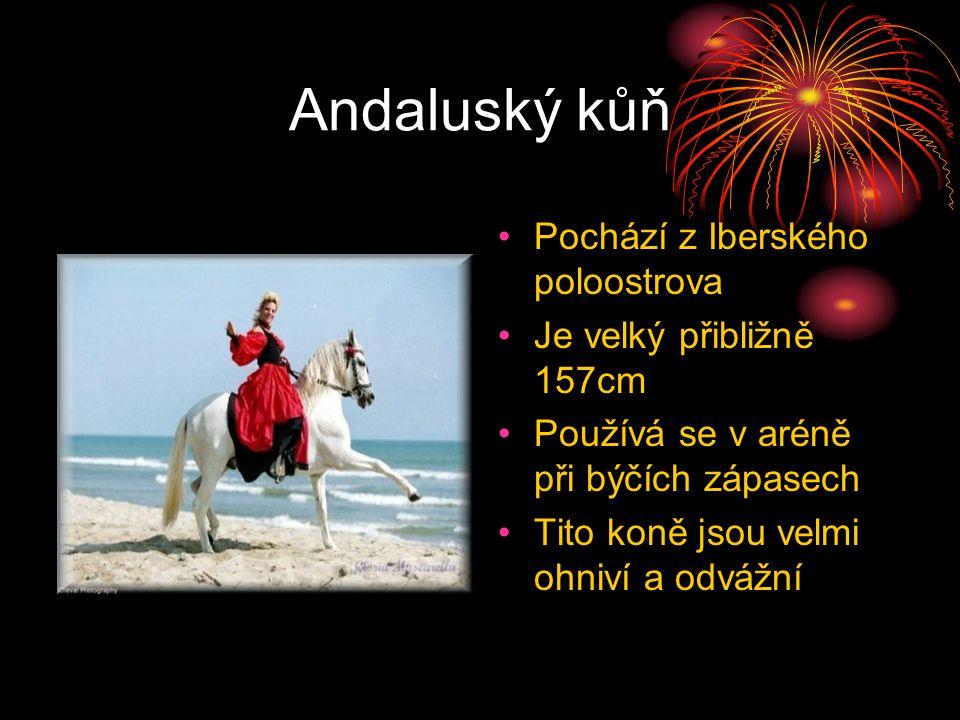 Andaluský kůň Pochází z Iberského poloostrova Je velký přibližně 157cm