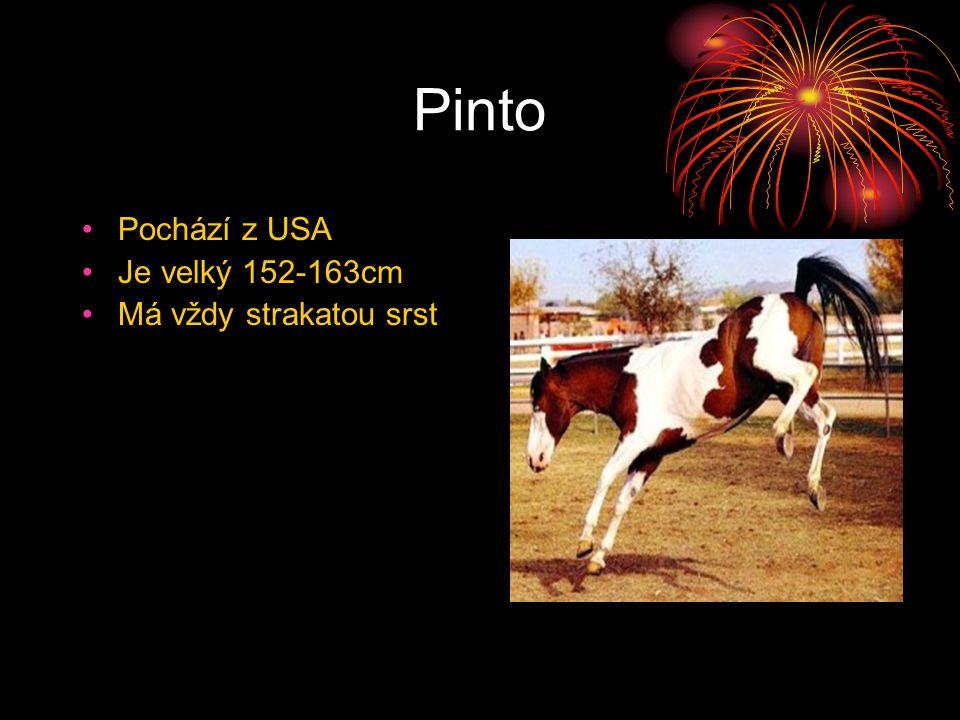 Pinto Pochází z USA Je velký 152-163cm Má vždy strakatou srst