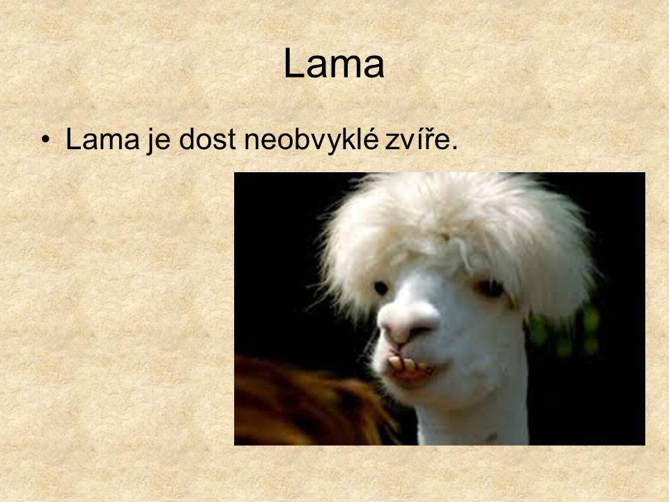 Lama Lama je dost neobvyklé zvíře.