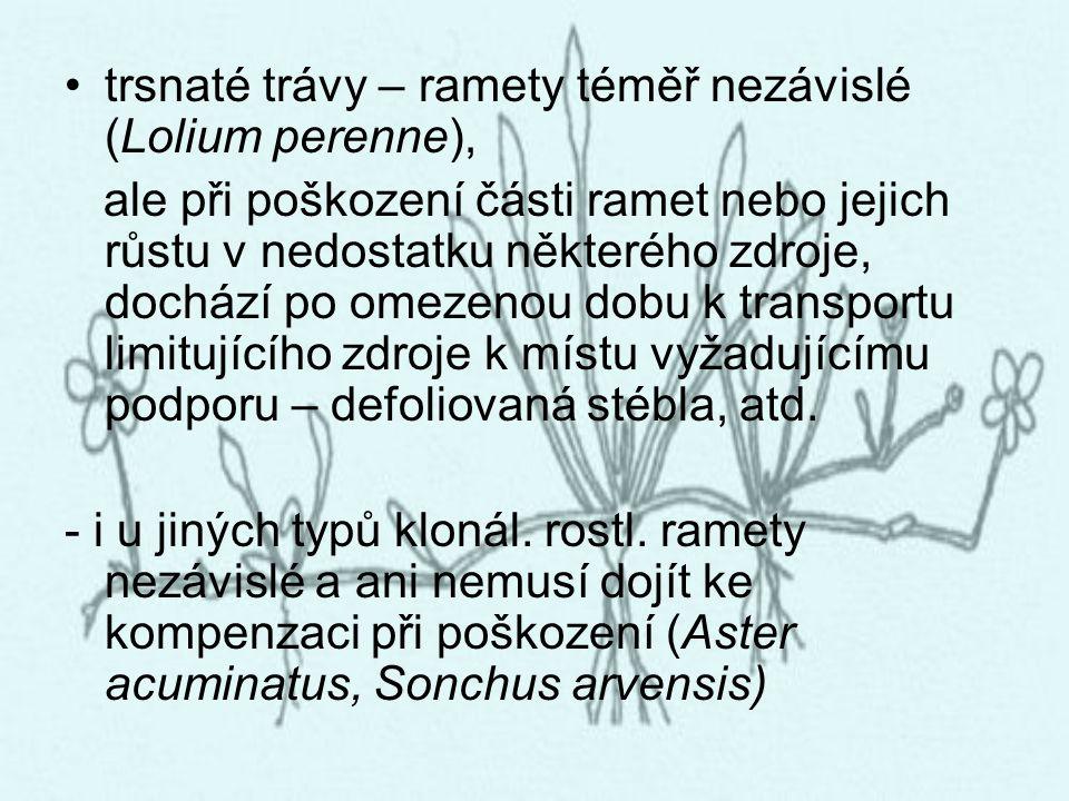 trsnaté trávy – ramety téměř nezávislé (Lolium perenne),
