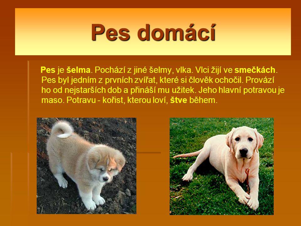 Pes domácí