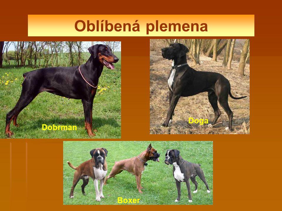Oblíbená plemena Doga Dobrman Boxer