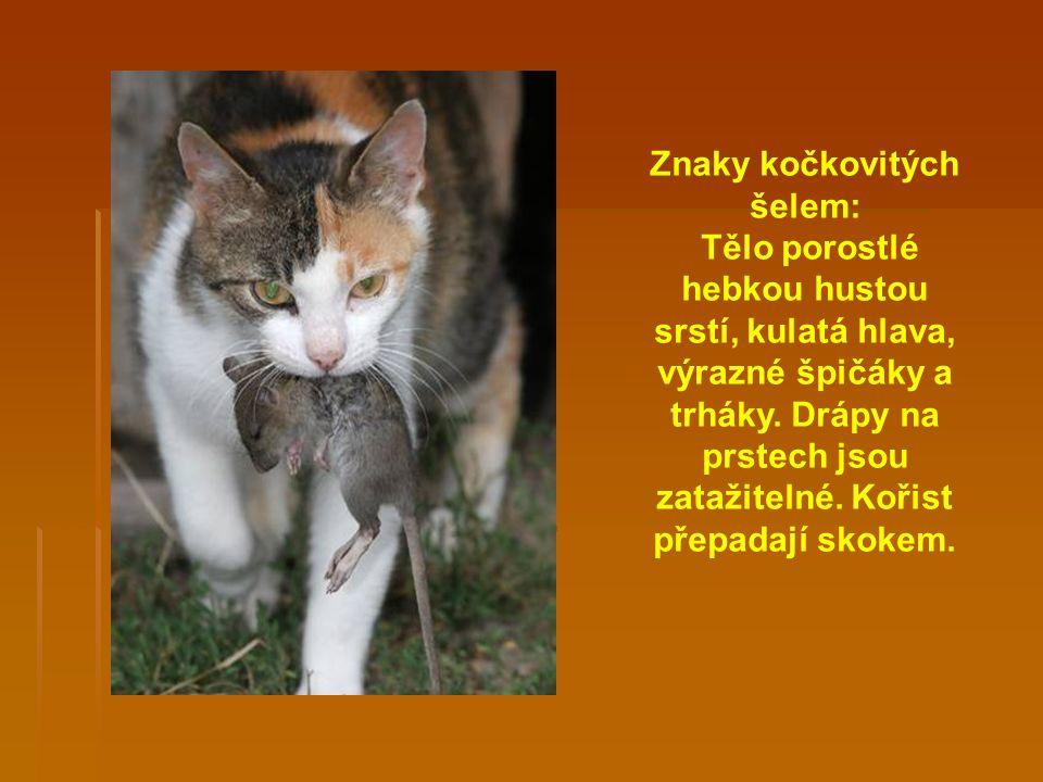 Znaky kočkovitých šelem: