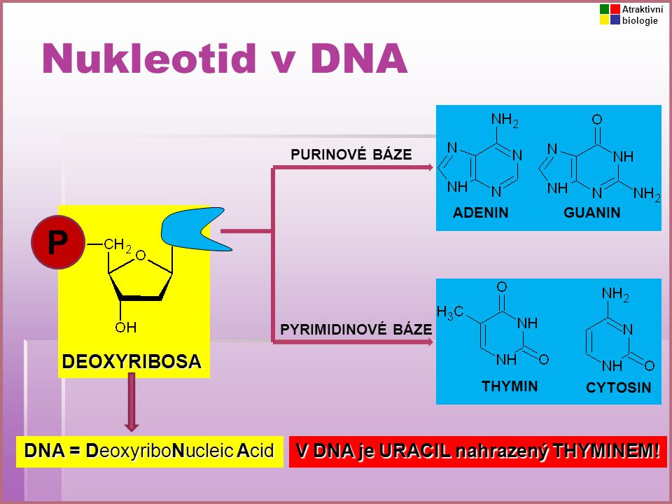 V DNA je URACIL nahrazený THYMINEM!