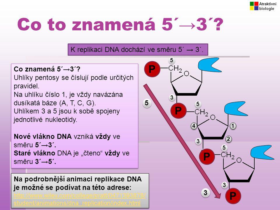 Co to znamená 5´→3´ P P P P K replikaci DNA dochází ve směru 5´ → 3´.