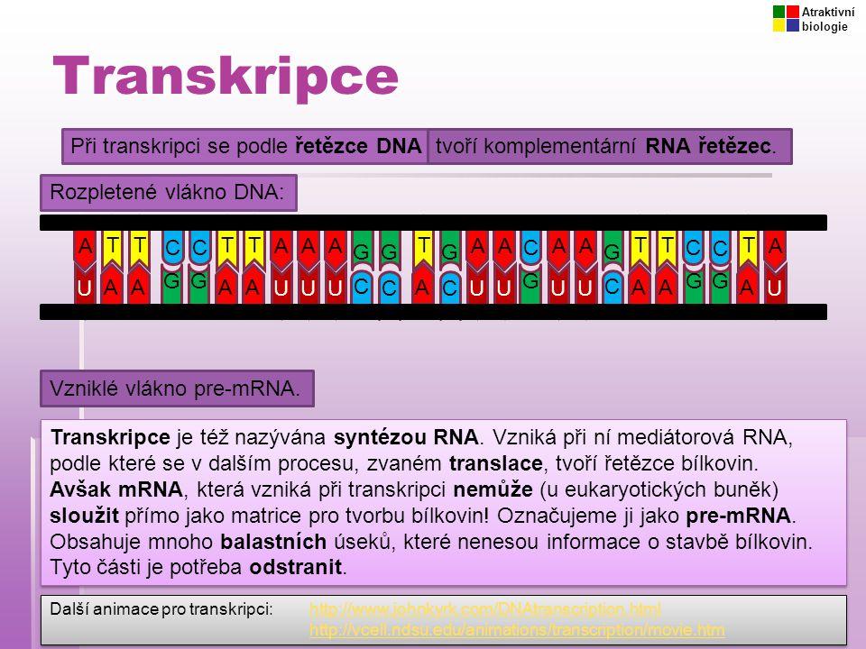 Transkripce Při transkripci se podle řetězce DNA