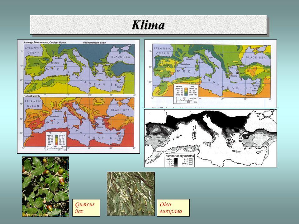 Klima Quercus ilex Olea europaea