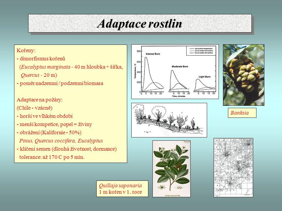 Adaptace rostlin Kořeny: - dimorfismus kořenů