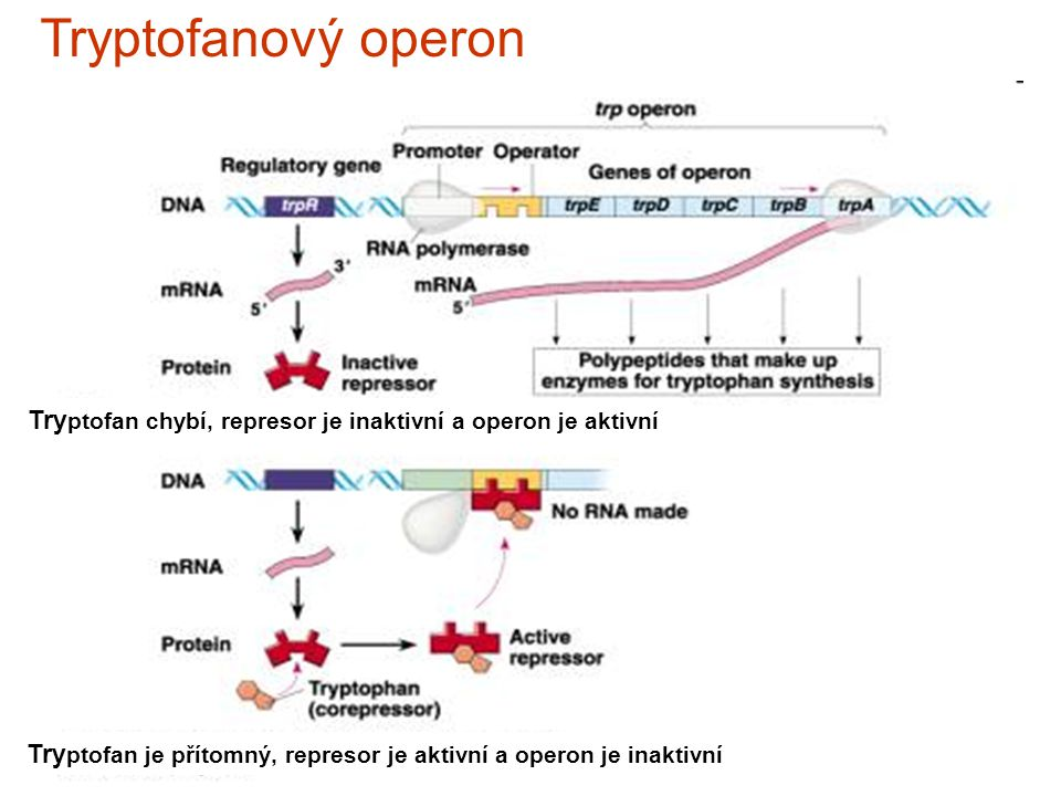 Tryptofanový operon Tryptofan chybí, represor je inaktivní a operon je aktivní.