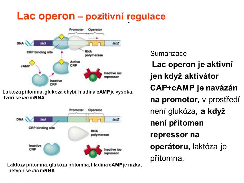 Lac operon – pozitivní regulace